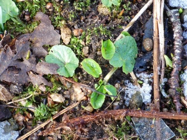 Celandine leaves