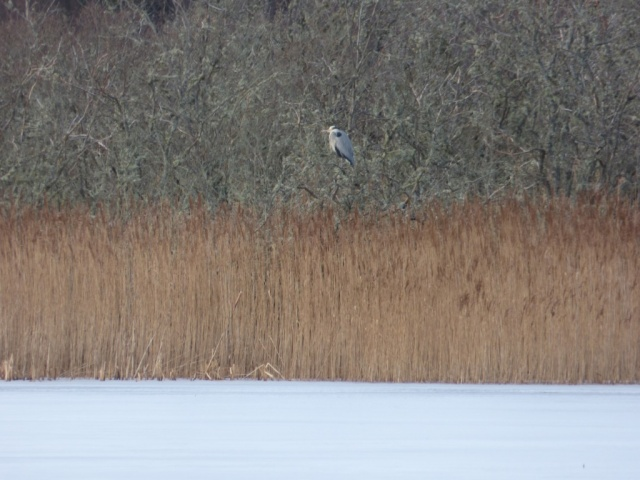 Heron sulking up a tree because the lochs are frozen