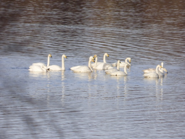 Whoopers on Loch Kinord