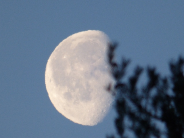 Gibbous, waning....the moon is setting behind the pines.