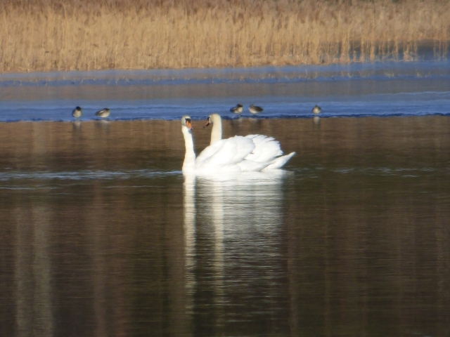 "Under sail-  the mute swans are starting to get protective of ""their"" territory."