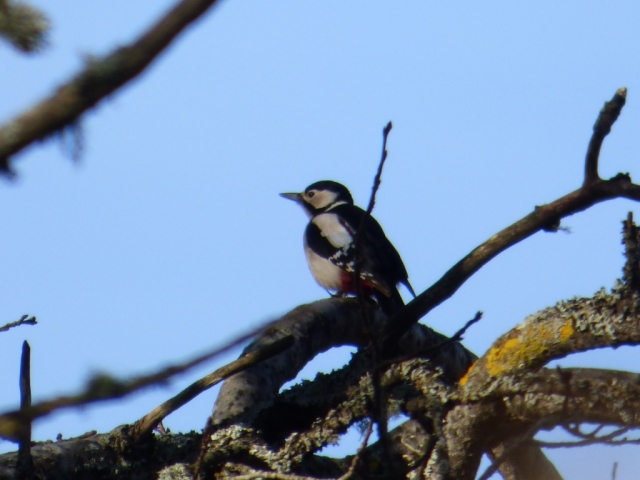 The drummer - a great-spotted woodpecker displaying