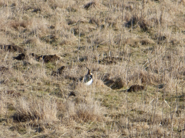 The lapwing are back in the Old Kinord fields
