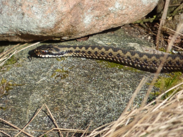 Male adder, on the move
