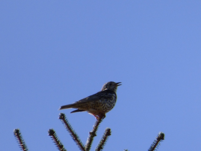 A mavis or mistle thrush