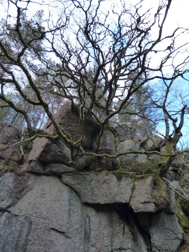 Oak growing out of Vat gorge