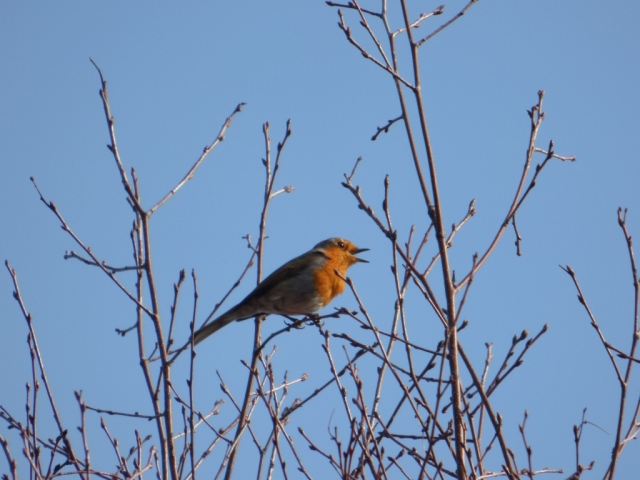 My tree. My tree. Mine. Come and have babies with me! A robin making his intentions clear to the world!