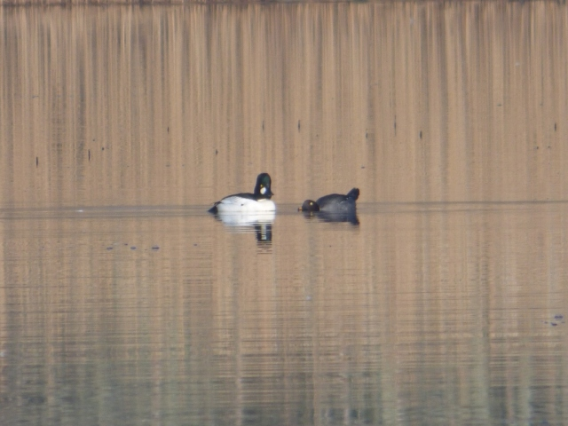 Ever get the feeling she likes you? Female goldeneye displaying to the male.