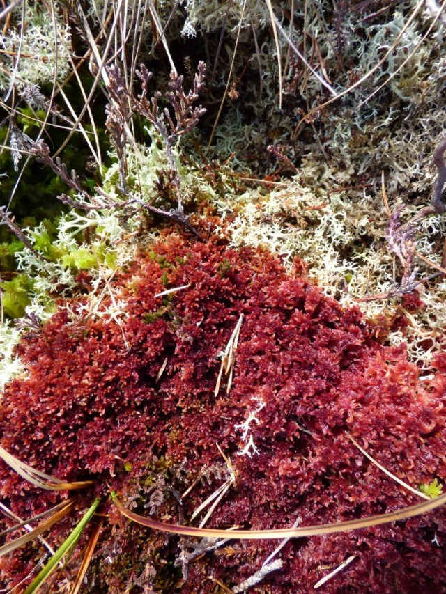 Colourful sphagnum moss and lichens