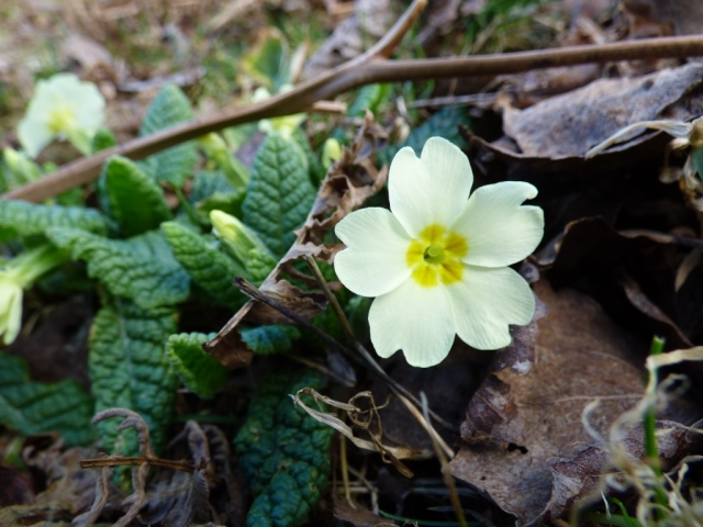 "Primrose. The ""prima rosa"" the first ""rose"" of spring."
