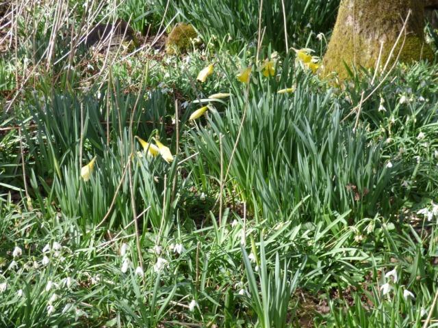 Daffodils near Bogingore