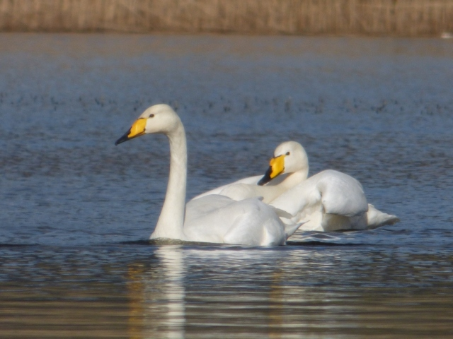 Winter visitors heading north- whooper swans