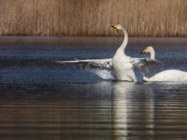 After landing, the whoopers always seem to have a stretch and a flap.