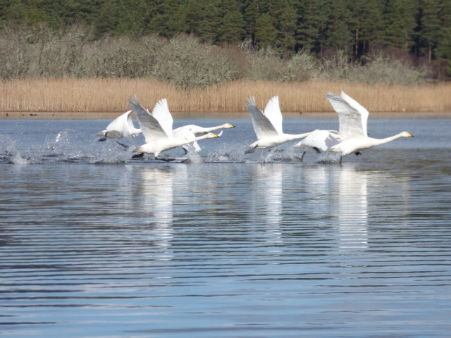 Take off! The whoopers need to run across the loch surface to get up speed to get airborne.