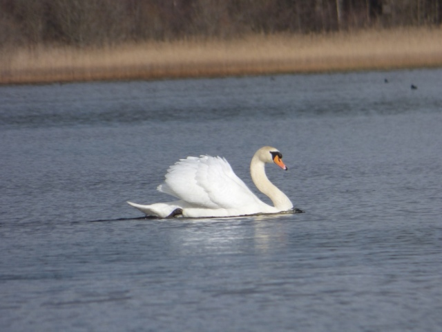 One of the resident mute swan, in full display mode.