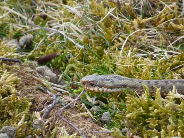 Greenish female adder- the first adult female of the year to emerge.