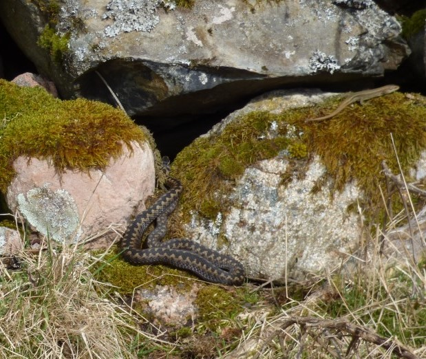 Made it past- just. It ran from the pink rock on the left right in front of the adder.