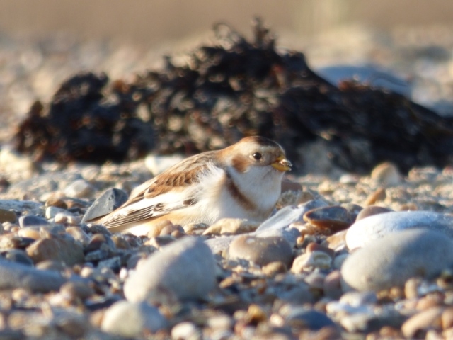 Snow bunting feeding in the shingle