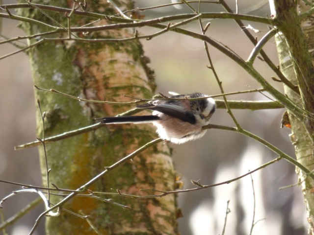 A legless long-tailed tit!
