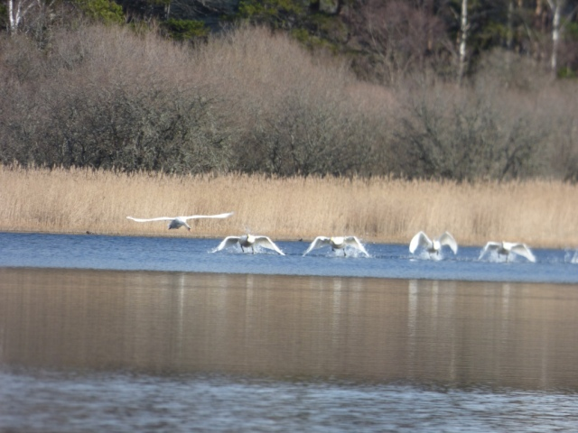 Get out of here! The resident mute swan (far left) chases off the whoopers.