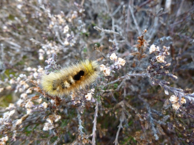 Dark tussock moth caterpillar