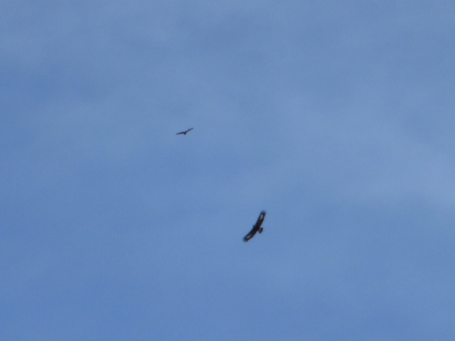 Golden eagle (bottom) and buzzard (top)