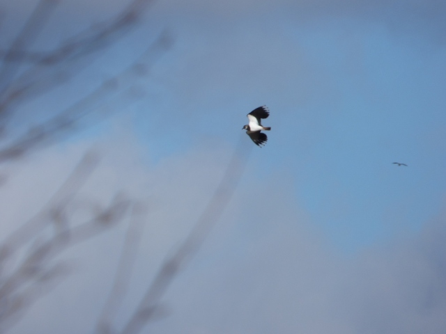 Lapwing displaying