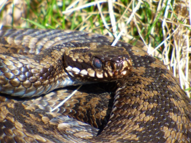 Adder with cloudy eye