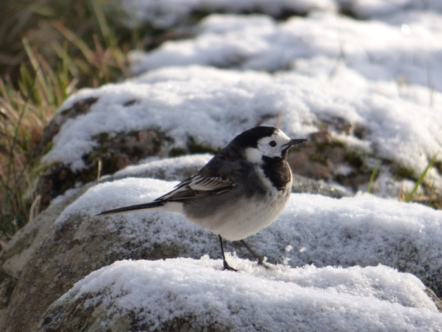 Pied Wagtail outside the visitor centre