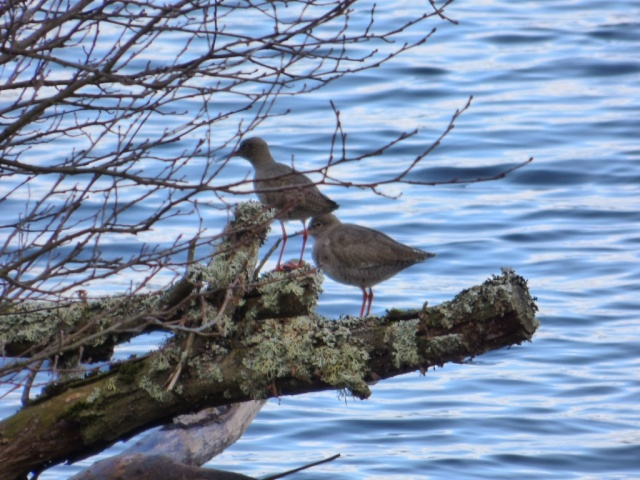 redshank on the edge of Loch Davan