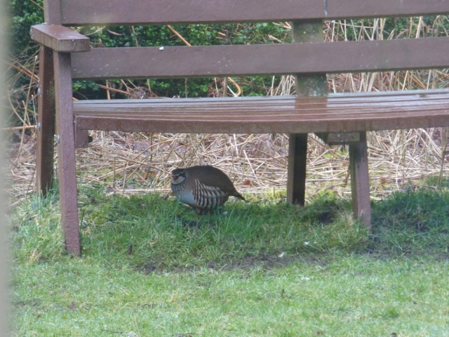 French or red-legged partridge