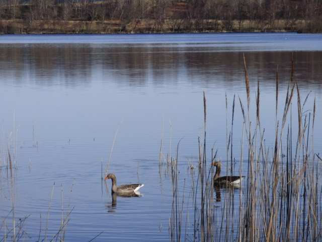 Greylags prospecting for nest sites