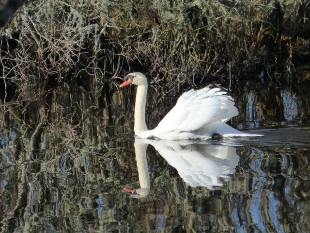 Male mute swan in display mode