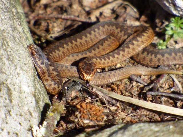 Two of last year's baby adders