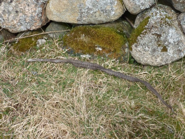 The first adder has shed it's skin!