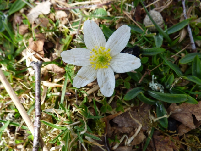 The first wood anemone of the year