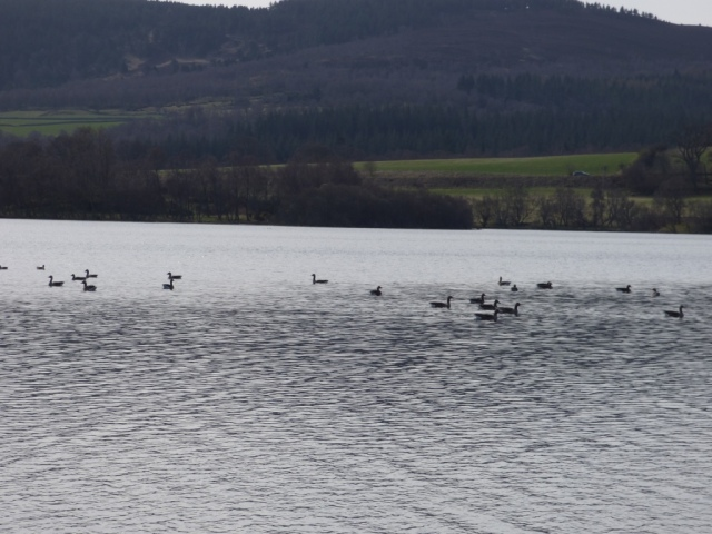 A honking of grumpy greylags on Loch kinord
