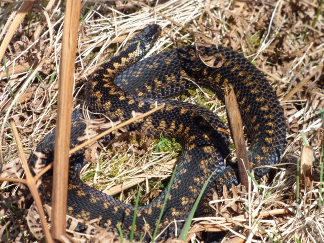 Newly shed male adder