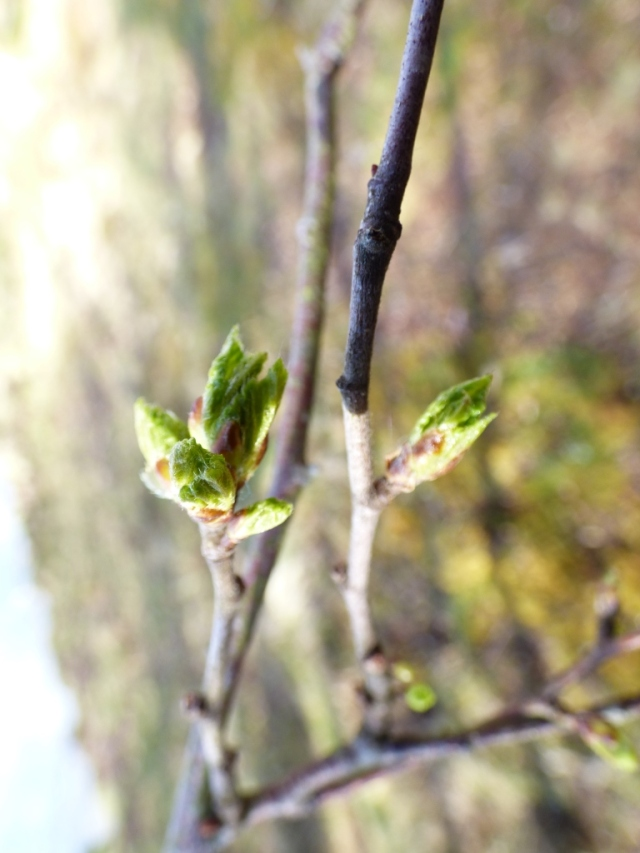 Bursting birch buds