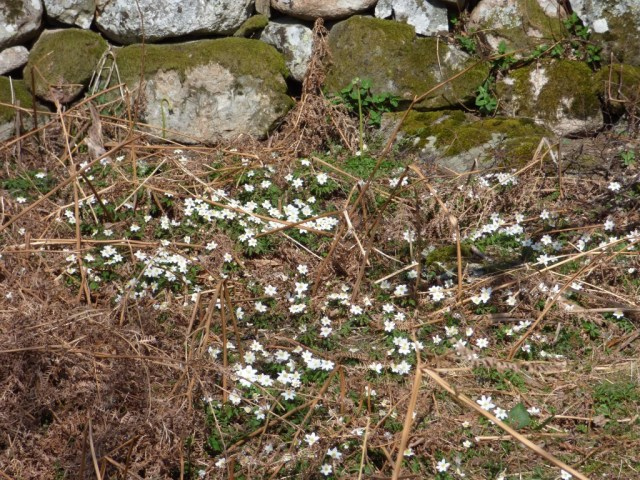 Wood anemones at New Kinord