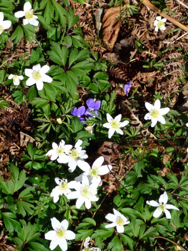 Wood anemones and violets at New Kinord