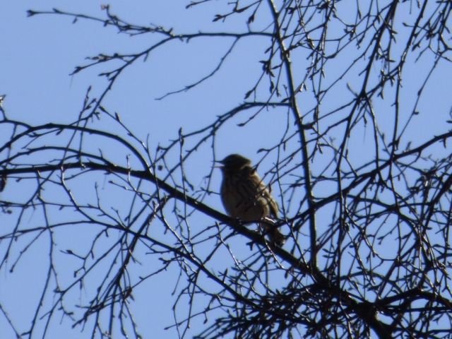 The first tree pipit of the season.
