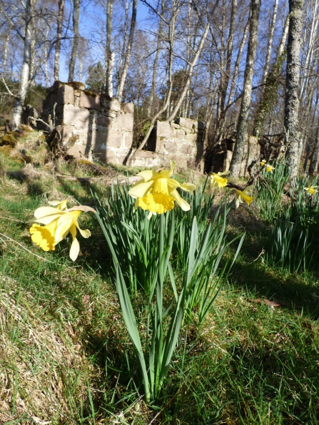 Daffodils in front of ruined cottage