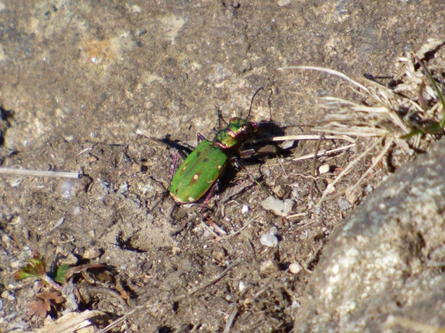Tiger beetle, hunting ants