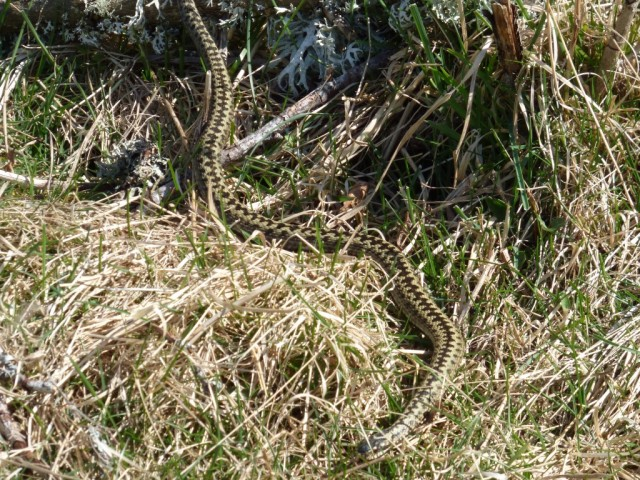 Smaller, paler adder
