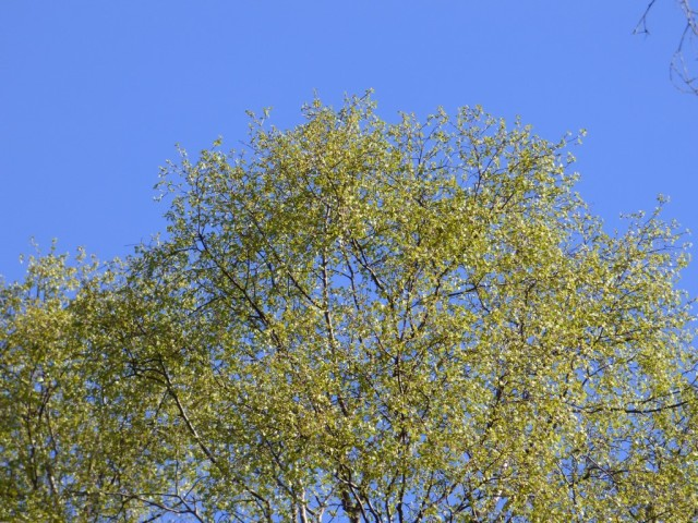 New birch leaves