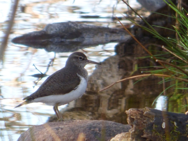 The first common sandpiper of the year