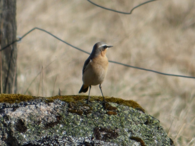 A lovely male wheatear