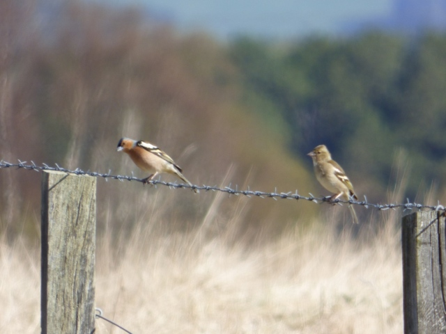....and then a pair of chaffinches.