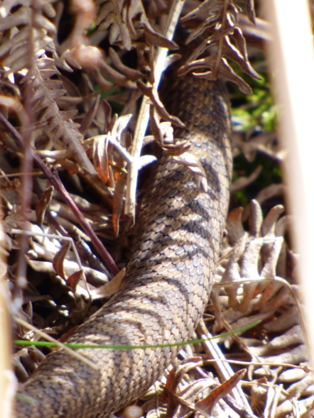 All we've seen of the adders this week!